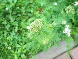ヌプカの草花