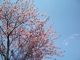 士幌高原ヌプカの里の桜2